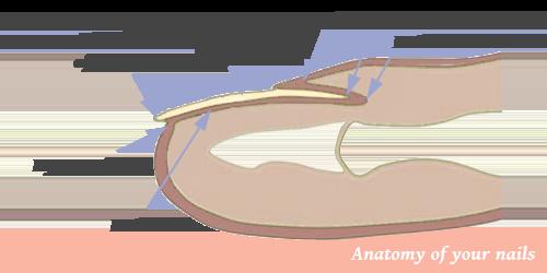 Nail anatomic parts